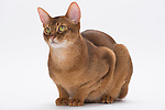 Abyssinian Cat, 9 months old, Male, Chocolate colour