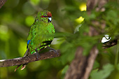 Red-crowned Parakeet, Kakariki, New Zealand