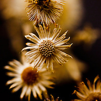 Sepia Botanical Still Life - Square Crop