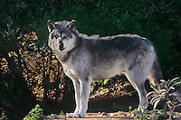 694929126 Gray Wolf canis lupus CAPTIVE.ENGANGERED Wildlife Rescue.Standing on Hillside  Navarre.Native to northern part of North America