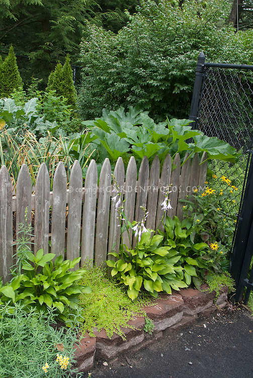 Vegetable garden edibles with picket fence, flowering hostas, etc, rudbeckia, squash, broccoli, evergreen herbs