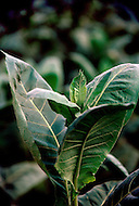 Cuba, March 1992: A head of a Tobacco plant in Vinales area, Cuba. The head is  trimmed to promote the growth of leaves.