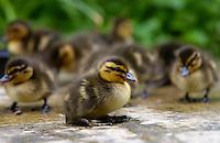 Mallard ducklings just a few days old, Swinbrook, Oxfordshire, England