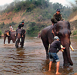 Asian elephants (elephas maximus)receive their morning bath with their mahout at Pak Lai, Laos.