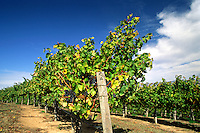 Rows of CABERNET WINE GRAPEVINES in MONTEREY COUNTY - CALIFORNIA