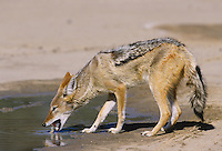 Black-backed Jackal (Canis mesomelas), adult drinking, Kalahari desert, South Africa, Africa
