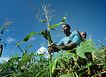 A baby on her back, a woman works in a field planted with corn and cassava near Thekerani, in southern Malawi.