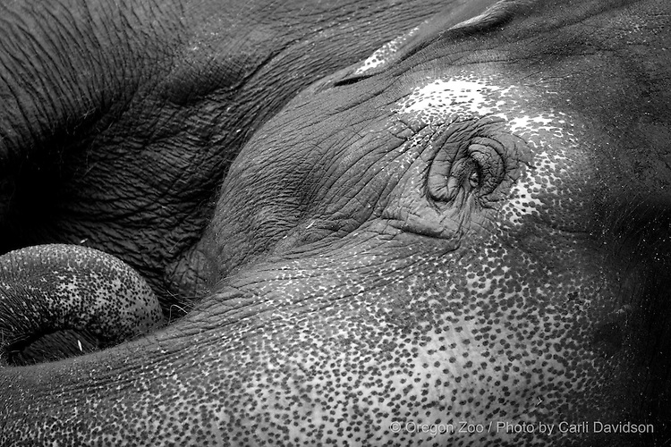 Asian elephant laying on side. © Carli Davidson