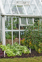 Small hobby Greenhouse + tomatoes Shirley, green lettuce Webb's Wonderful, red lettuces Stealth (oakleaf type), &amp; marigolds Tagetes flowers companion plantings interplanted in ground with plant label tags
