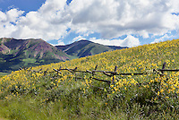 Sunflower field near Crested Butte