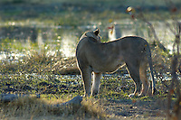A lioness (panthera leo) on her way to the river for an early morning drink.<br /> The Khwai side of Moremi in the Okavango Delta, Botswana.<br /> September 2007.