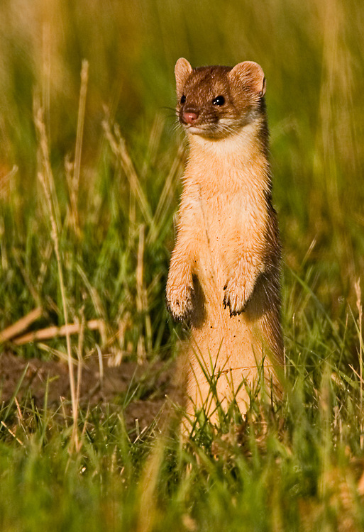 Long tailed weasel looking for baby gophers