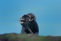 660752005 wild muskox ovibus moschatus bellows from a hillside in the northwest territories in canada