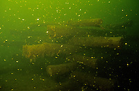 Underwater Scene-Fish crib with juvenile bluegills<br />