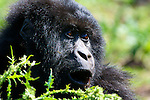 The dynamics of a gorilla family are complicated, but this guy is second in command of the Agashya family in Volcanos National Park, Rwanda.