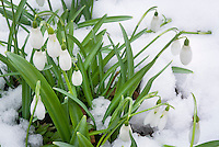 Galanthus snowdrops in winter snow flower
