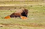 Bison Female and Newborn Calves, Madison River, Yellowstone National Park, Wyoming