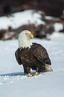 Bald Eagle on ground in snow