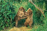 Brown bear spring cubs playing, Kodiak, Alaska