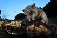 Edible or Fat Dormouse (Glis glis), Switzerland
