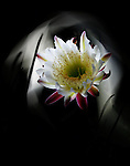 Light painting of a Cereus variety cactus flower with the light from a cell phone.