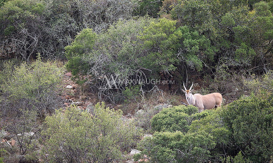 The eland may be the world's largest antelope, but it's typically quite shy.
