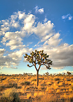 Lone Joshua Tree and Clouds - Joshua Tree National Park, CA<br />