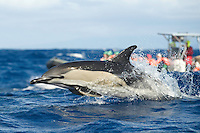 Common dolphin. Delphinus delphis, Pico, Azores, Portugal.Model release by photographer