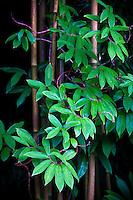 Young bamboo in overcast light on Kauai