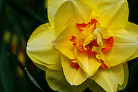 Double Yellow Daffodil Narcissus