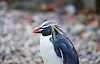 ZSL London Zoo Annual Count<br /> 4th January 2016 <br /> London Zoo, Regent's Park, London, Great Britain <br /> <br /> Rockhopper Penguin <br /> <br /> <br /> <br /> Photograph by Elliott Franks <br /> Image licensed to Elliott Franks Photography Services