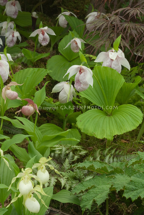 Cypripedium Michael with Cypripedium formosanum ladyslipper orchids & C. ventricosum 'Album'