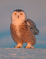 A juvenile snowy owl stands in the last light of a winter sunset.