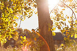 Autumn 2012, Dublin, Ireland: The warm Autumn sun streams through the leaves and branches of a tree covered in fall colours