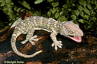 GK20-001x  Tokay Gecko - adult from south east Asia -  Gekko gecko