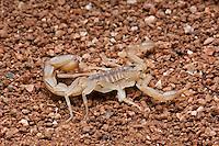 Stripe-taileded Scorpion (Vaejovis spinigeris)