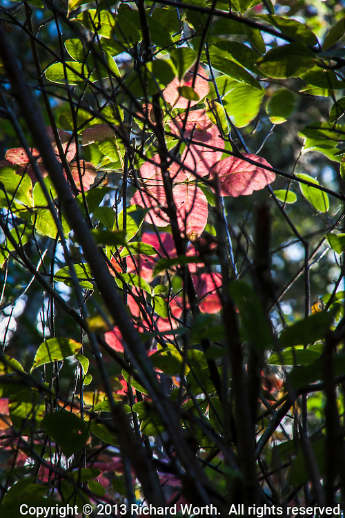 Glowing red and green leaves are backlit behind the geometry of black lines drawn by branches.