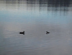 mallard and merganser meet at dusk on a calm lake with twilight colors as the winter eveing closes in