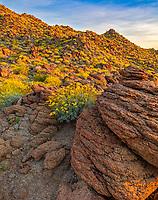 Anza-Borrego Desert State Park, CA: Flowering brittlebush (Encelia farinosa) growing among the sandstone boulders and hilllside in Glorieta Canyon