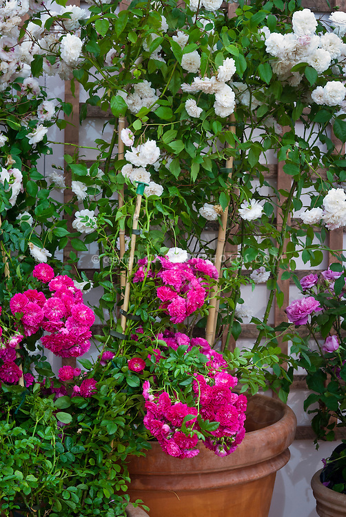 Rosa roses in pot container and on trellis, white and pink varieties mixed