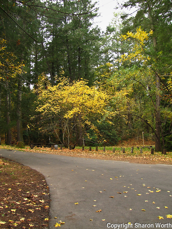 The road through Bothe State Park curves past trees of gold and green and empty picnic tables in mid-November.  Autumn lingers in the Napa Valley.