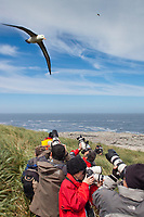 Photographing Black-browed albatross in flight, Steeple Jason Island in the Falklands.