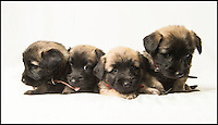 BNPS.co.uk (01202 558833)<br /> Pic: PhilYeomans/BNPS<br /> <br /> Whisper it quietly...but these dozing puppies could be a lifeline for Britains rarest breed of dog.Only 28 Skye Terriers were registered last year with the kennel club - making the ancient British breed rarer than White Rhino's, Tigers or even Giant Panda's. <br /> <br /> Plucky British dog breeds like these adorable Skye Terriers, Sussex Spaniels and Otterhounds are more endangered than the Giant Panda due to the modern infatuation with fashionable crossbreeds and foreign invaders.<br /> <br /> The unprecedented rise in popularity of 'handbag dogs' has put many traditional breeds on the brink of extinction. <br /> <br /> The bottom three in last years KC figures are Skye Terriers(28), Otterhounds(40) and Sussex Spaniels(49) making these adorable puppies a vital lifeline for their historic breeds - by contrast over 20,000 French Bulldog's were registered in 2016.