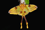 Comet Moth, Argema mittrei, female on cocoon case, yellow, long tails.Madagascar....