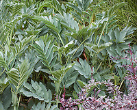 Compound pinnate leaf foliage of Melianthus major-Honey Bush in foliage garden with 'Silver Mile' Berberis