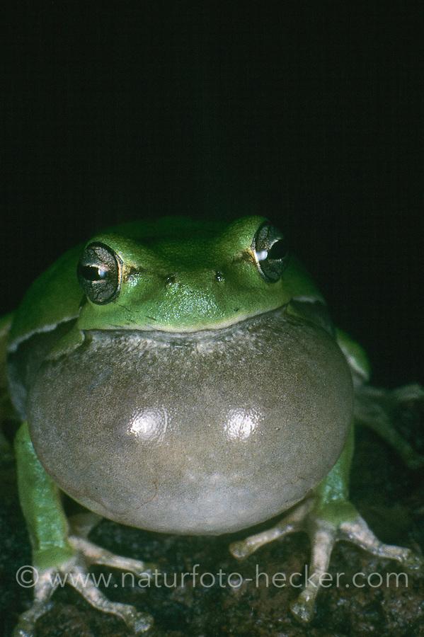 Europäischer Laubfrosch, rufendes Männchen, Schallblase, Quaken, Laub-Frosch, Frosch, Hyla arborea, European treefrog, common treefrog, Central European treefrog