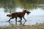Nova Scotia Duck Tolling Retriever doing just that! Shopping cart has 3 Tabs:<br />