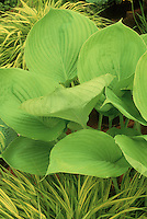 Hosta Stock Photos
