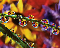 Black eyed susans reflecting in dew drops