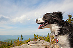 Happy Australian Shepherd on Nundagao Ridge